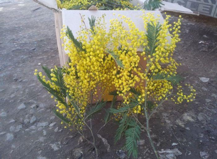 Купить живые цветы мимозу оптом волгоград доставка цветов на дом через интернет
